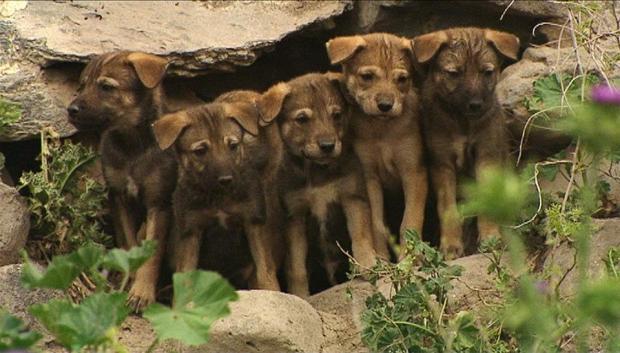 יללת הזאבים הצעירים. הו.